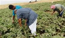 صندوق التنمية الزراعية يعزز الأنشطة الزراعية في جازان