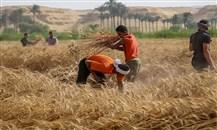 المؤسسة العامة للحبوب تصرف مستحقات الدفعة العاشرة من مزارعي القمح