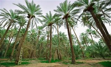 تمور السعودية: التحول إلى أكبر مُصدّر في العالم